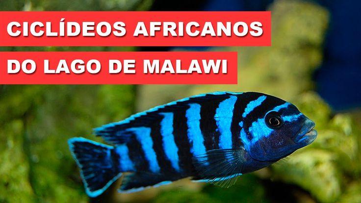 Ciclídeos Africanos do lago de Malawi