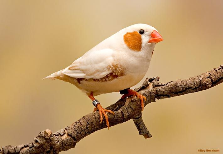 Zebra Finch Mutations | florida fancy zebra finch male mutation effects inheritance co ...