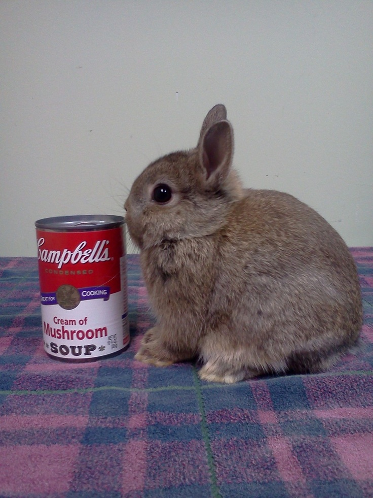 netherland dwarf rabbits...this is the cuteness I must have in my life!