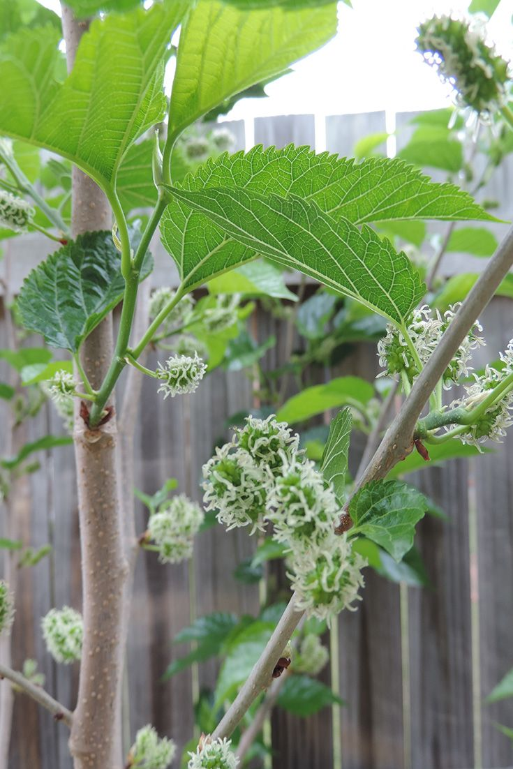 Mulberries.  First fruit.  The tree is 12mths old and had grown a lot from when it first when in.