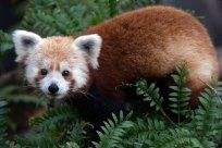 Red Panda's are crazy cute