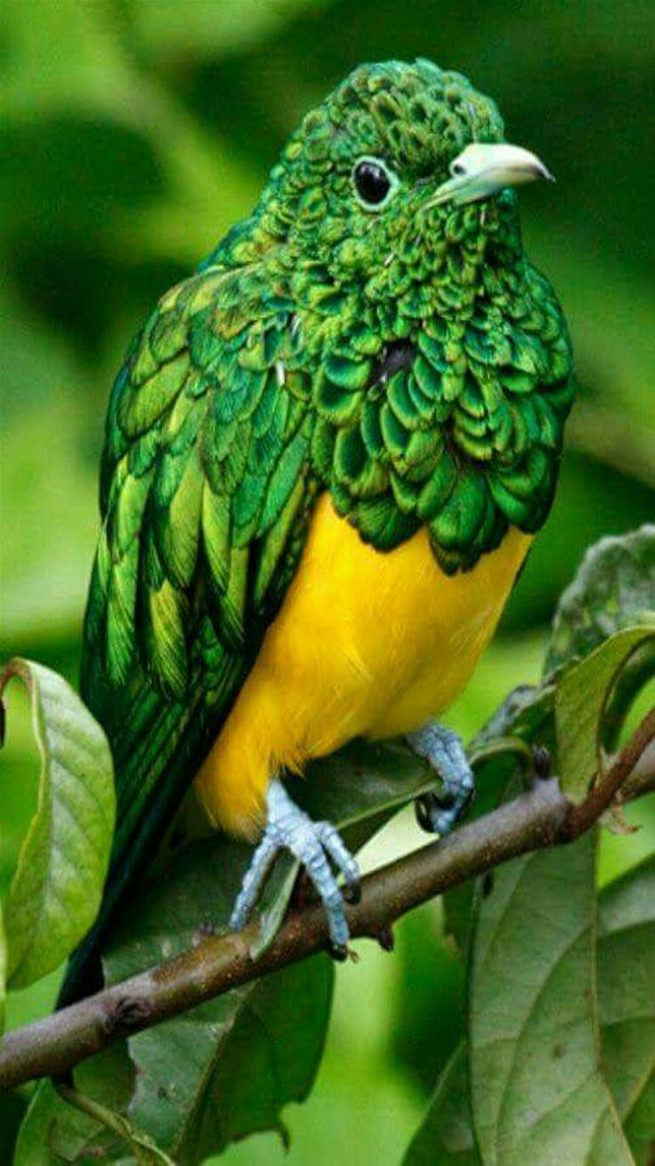 Exotic birds  - Gorgeous African Emerald Cuckoo bird. This is a male.