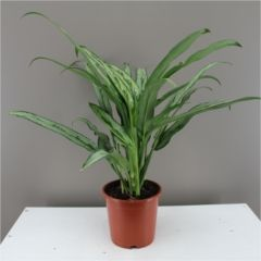 Very easy care houseplant - Tolerant to poor lighting making it ideal for offices and homes - Tropical foliage plant with air purifying - Part of the Araceae family - Makes a wonderful gift for new homes, thank yous and birthdays.