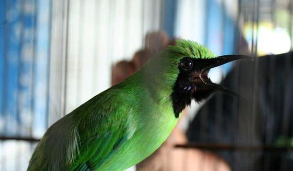 Download Mp3 Suara Burung Cucak Ijo Juara Gacor Dan Ngerol Burung Gambar Hewan Petani