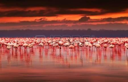 flamant rose: Afrique flamants dans le lac au cours beau coucher de soleil, affluent d'oiseaux exotiques à l'habitat naturel, le paysage en Afrique, au Kenya nature, le lac Nakuru réserve de parc national