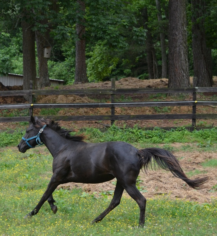 Secret  - Thoroughbred mare. One of Identical natural  twins. Approximately 2 1/2 years old & 14.2 hands.  Very sweet, curious & a little shy, gentle though, Load on trailer, stands impatiently for farrier,  Needs  someone to Love on her & give alot of one on one attention. GORGEOUS mover with long stride. Great for a child's jumping  , barrels or dressage prospect.