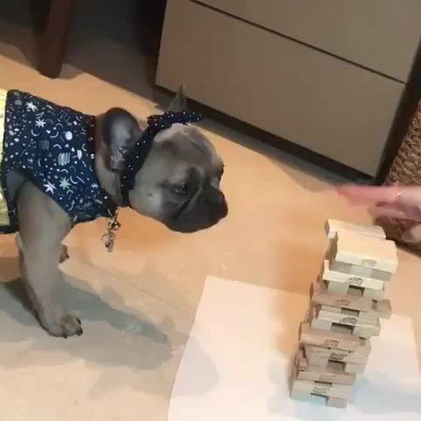 Jenga With My Frenchie Tag A Friend Follow