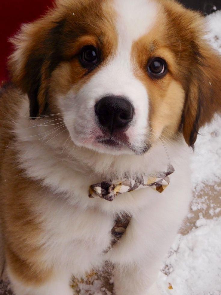 Drogo... Great Pyrenees Bernese Mountain Dog mix