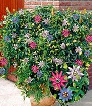 Good H ngender Bambus uGreen Twist u jetzt kaufen bei BALDUR Garten In der Kategorie Bambus finden Sie H ngender Bambus uGreen Twist u und weitere Angebote