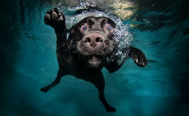 underwater dogs - http://www.littlefriendsphoto.comPuppies, Dog Photos, Dogs Photography, Pets, Underwater Photography, Dogs Photos, Underwater Dogs, Dog Photography, Black Labs