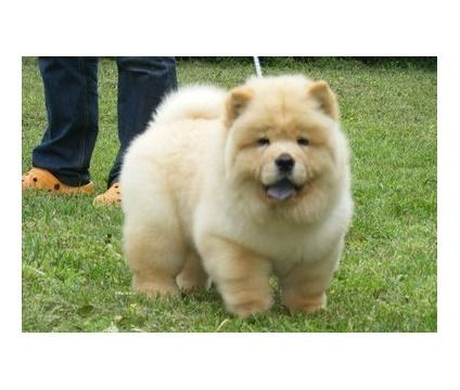 nbcghgfjm Chow Chow Puppies For Sale | Female, Male Chow Chow ...