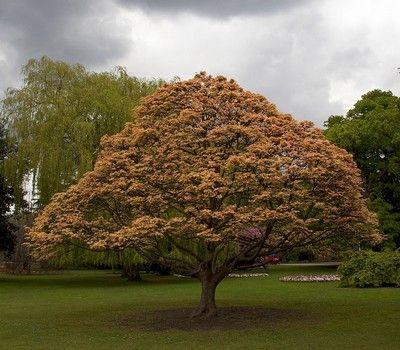 L'#érable #sycomore : un #arbre majestueux