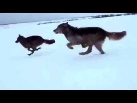 Amazing gray wolfs hunting habits 2017