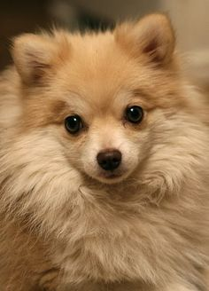 Pomeranian Temperament and Personality
