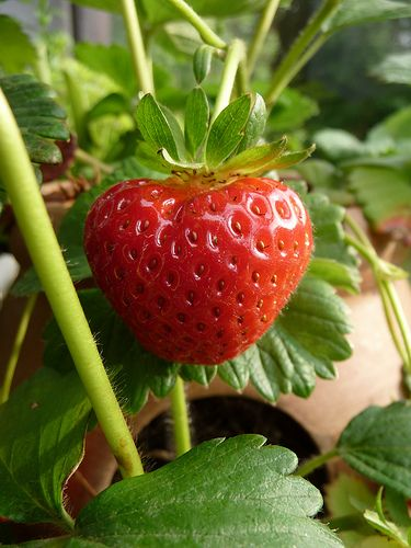 """10 helpful tips to growing sweet and tasty strawberries in a pot or container."" http://theselfsufficientliving.com/growing-strawberries-pot/"