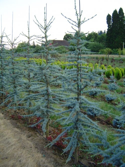 Dwarf Cedar Tree Varieties ~ Best images about blue atlas cedar on pinterest trees
