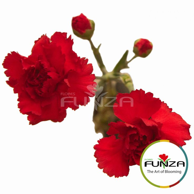 Red Spray Carnation from Flores Funza. Variety: Rony. Availability: Year-round.