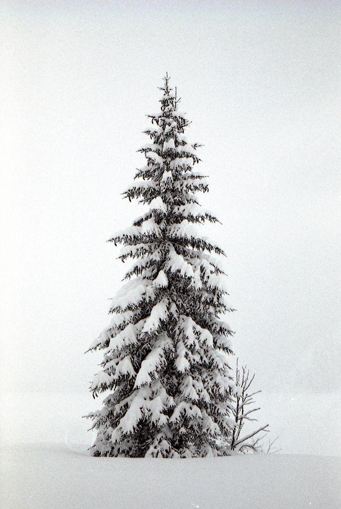Ein Fichtenbaum steht einsam im Norden auf kahler Höh. Ihn schläfert; mit weisser Decke umhüllen ihn Eis und Scnee. Er träum von einer Palme. die, fern im Morgenland, einsam und schweigen trauert auf brennender Fesenwand. Heine.