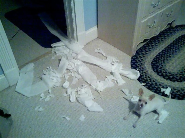 I came home to a mess like this before. My female chi loves paper.