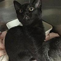 Martinsburg, West Virginia - Domestic Shorthair. Meet Black Kitten, a for adoption. https://www.adoptapet.com/pet/20952911-martinsburg-west-virginia-cat