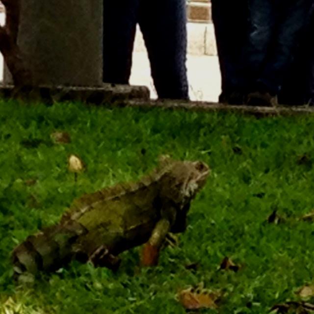 Describe tu pin...Iguana en el Parque El Lago de Pereira