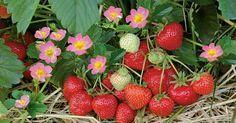 Aus eigenem Anbau schmecken Erdbeeren am besten! Schon Ende April reifen die ersten süßen Früchte, undmit mehrmals tragenden Sorten dauert die Ernte bis Oktober. Hier finden Sie einen Pflege-Kalender für alle wichtigen Arbeiten: vom Düngen bis zum Schneiden.