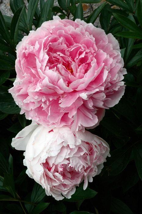 Pivoine herbacée Pivoine de Chine 'Sarah Bernhardt'  (fiche d'identité, variétés, plantation, culture, entretien et maladies)