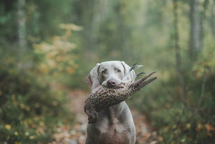 "Weimaraner ""Dave"" with his prey"