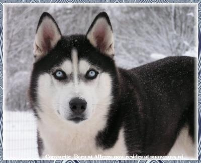 Siberian Husky: Animals, Dogs, Siberian Husky, Pet, Beautiful, Siberian Huskies, Puppy