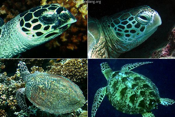 22 best images about Green and Hawksbill sea turtles on