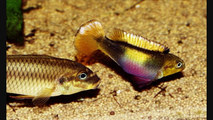 Pelvicachromis taeniatus wouri african cichlides not for 405 tropical fish