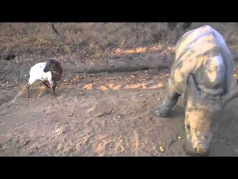 Orphaned Baby Rhino Kids Around With His New Goat Friend. Hyper Cute. - http://www.parrotshop.org/baby-rhino-goat-friends/