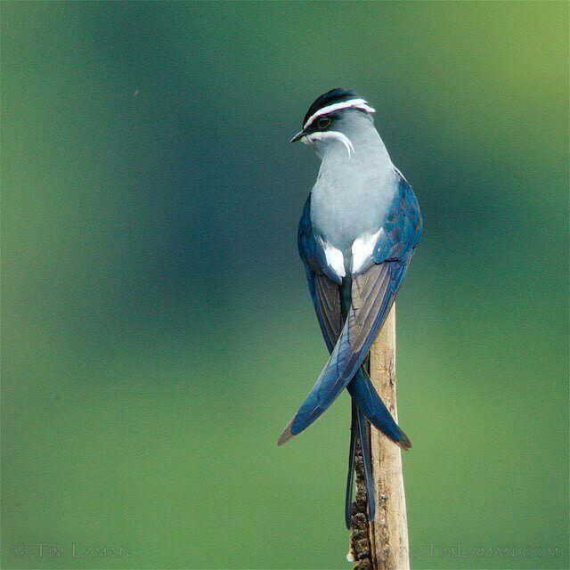 Photo by @timlaman #bird #birds #InstaTags4Likes #parrot #parrots #birdsofinstagram #birding #animal  #birdwatching #loveit #igbirdfreaks #beautiful #bird_lovers #instabird #instaparrot #feather #sky #bestbirds #birdstagram #wings #cockatiel #macaw #parakeet #amazon #africangrey #cockatoo #parrotlet by mr_nature_lover http://www.australiaunwrapped.com/