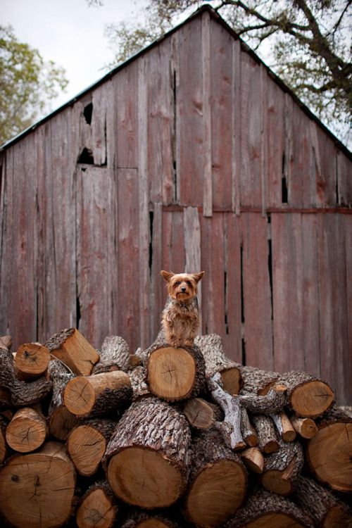 a woodpile, barn and yappy little dog for the woodsWood Stacked, Mountain, Yorkie, Wood Pile, Woodpile, Watches Dogs, Little Dogs, Work Dogs, Old Barns