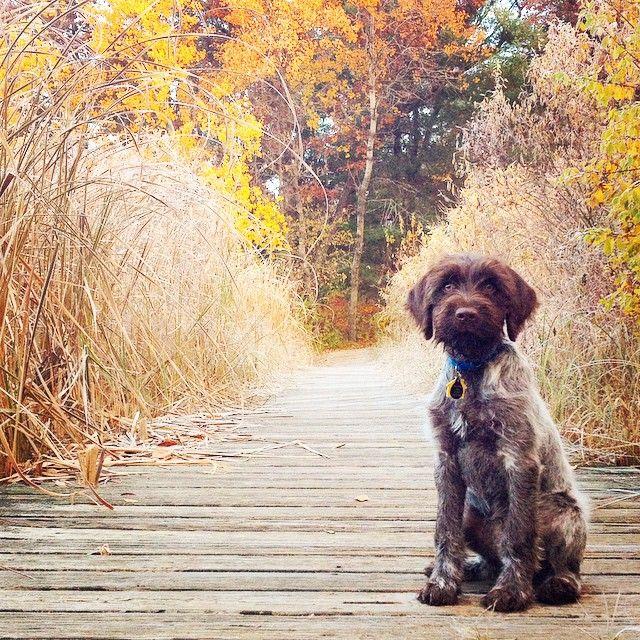 | Autumn adventures #wirehairedpointinggriffon brumby_griffon | instagram