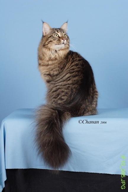 Grand champion Bootstrap Bill of Koonikats in Utah. Maine Coon cattery