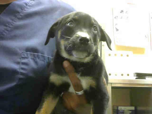 Rottweiler-American Pit Bull Terrier dog for Adoption in Santa Cruz, CA. ADN-705789 on PuppyFinder.com Gender: Male. Age: Baby