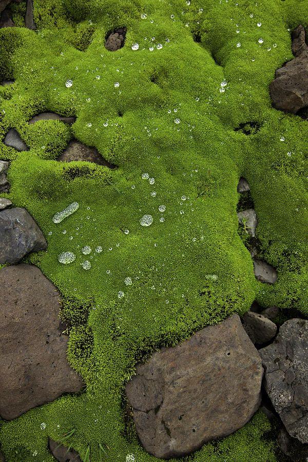 Wet Moss Over Volcanic Rocks Photograph