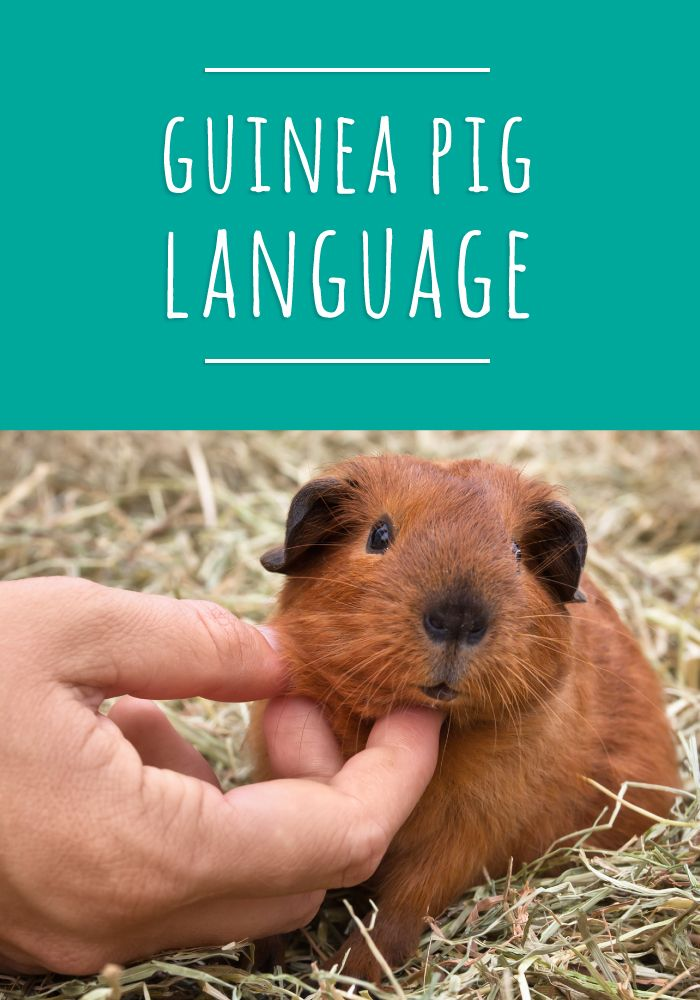 Your piggy is being perfectly clear, but if you need some help deciphering, read more here: https://smallpetselect.com/guinea-pig/guinea-pig-speak #guinepig #cavy