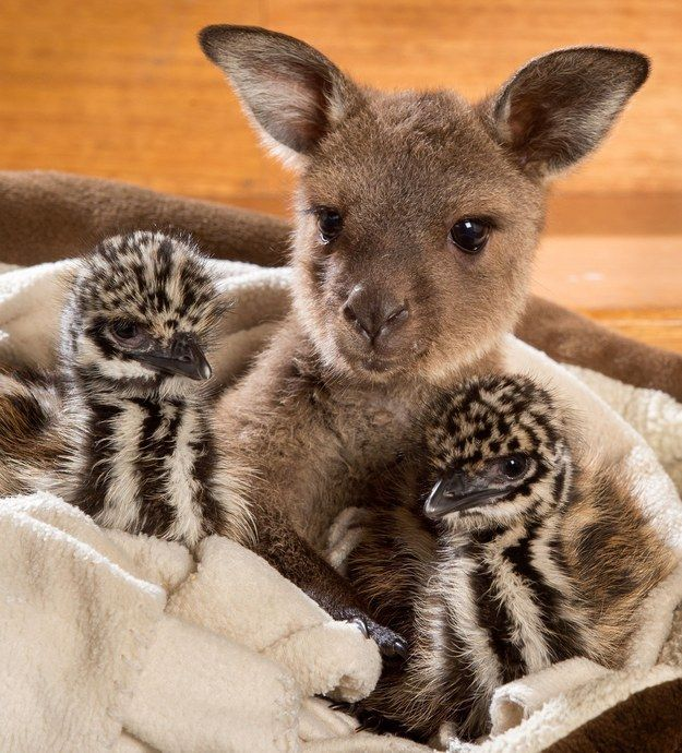 The Wild Action Zoo in Victoria, Australia was recently the site of some extremely adorable inter-species snuggling. Reuben, an eight-month-old baby kangaroo, welcomed a couple of day-old emu chicks named Edi and Eli, creating a cuteness overload as they all cuddled in one cozy bed.
