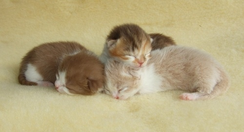 Barley and his siblings (1 week old). If you want an awesome cat, check out www.lelaurier.co.uk