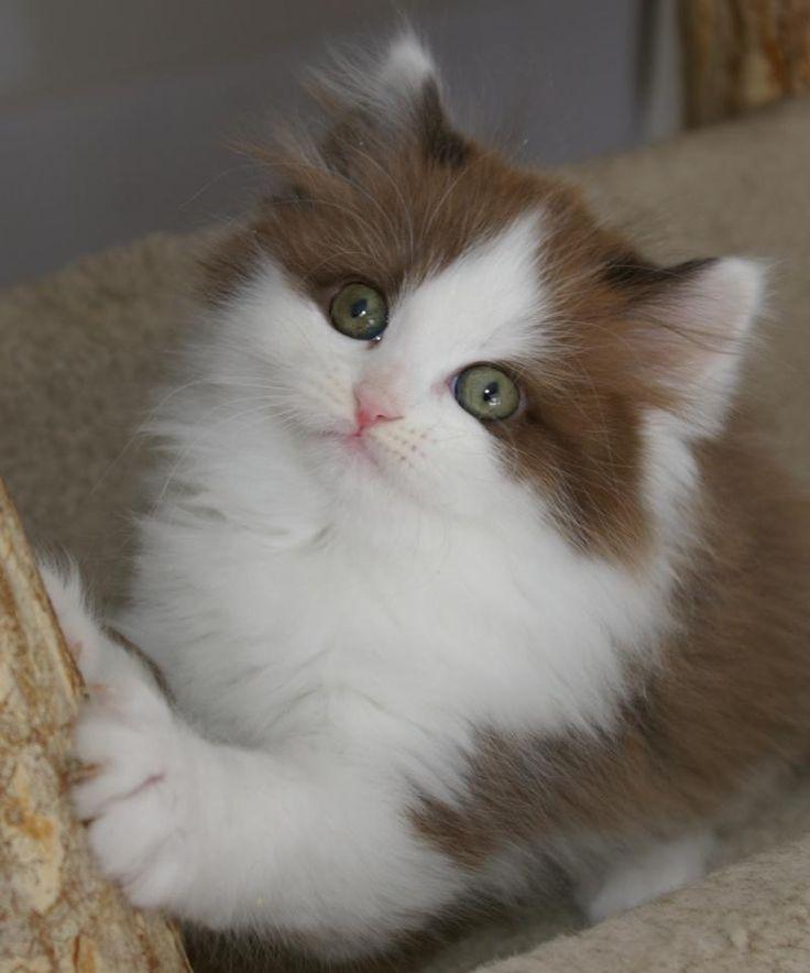 Gatitos RagaMuffin RagaMuffin gato