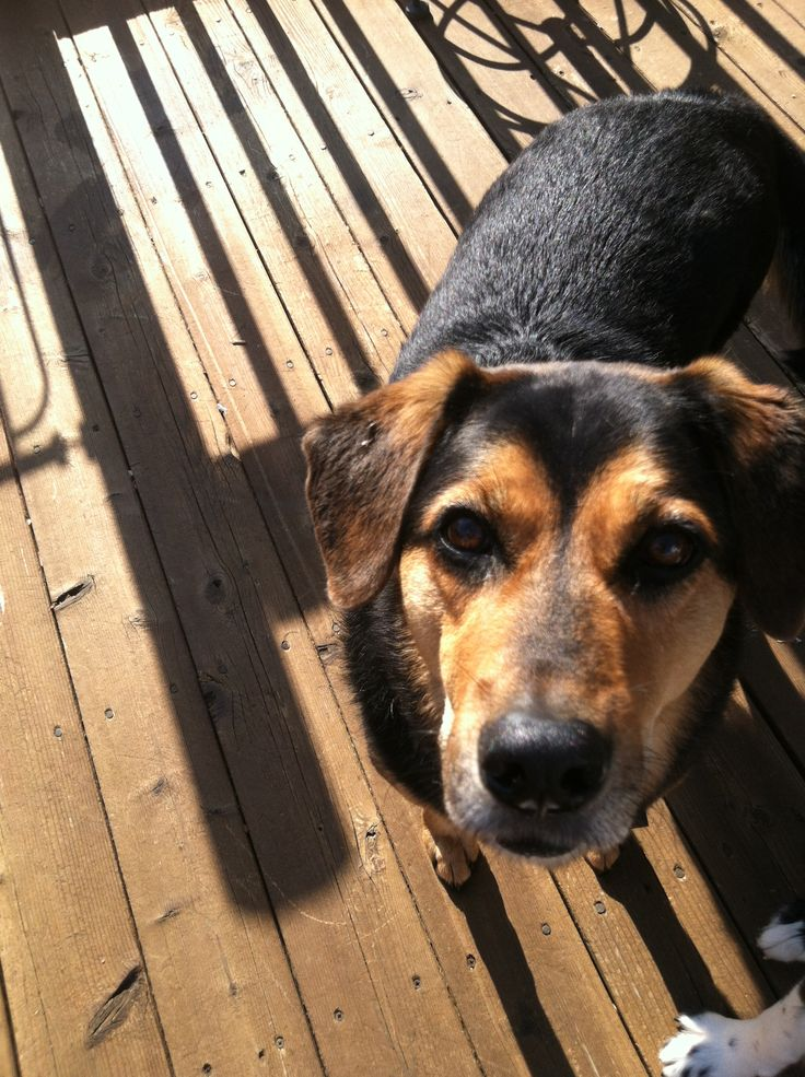 beagle mixed with german shepherd - 736×985