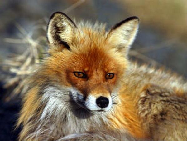 Alessandria: ammazzata a bastonate la volpe domestica del cimitero | All-4Animals