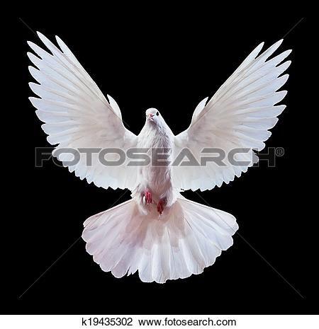 um, livre, voando, pombo branco, isolado, ligado, um, pretas Ampliar Foto