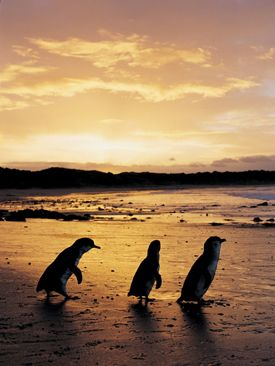 Every sunset, wild Little Penguins emerge from the sea and waddle across the beach to their sand dune burrows. Phillip Island, Victoria.