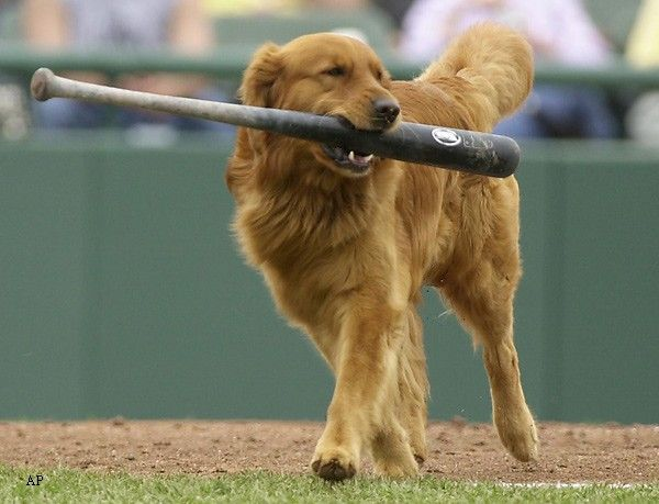 When you take your Golden to the ball game..