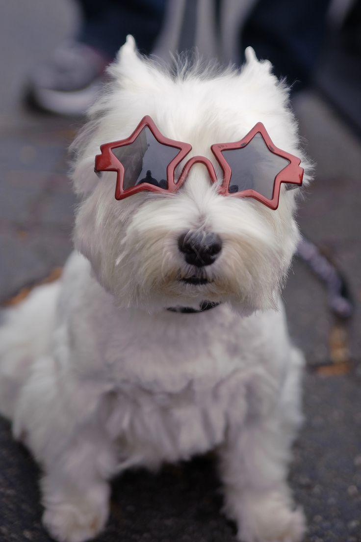 a star is born...Highlands Terriers, Post, Scottie, Rocks Stars, Stars Glasses, Stars Westies, Baby Animal, West Highlands, Animals 3