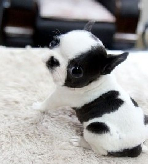 Teacup bostonterrier