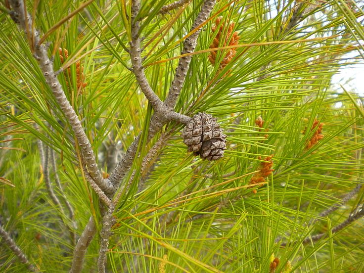 Pinus halepensis (Aleppo Pine); family: Pinaceae. Detail of the cone, small and pedunculated, and the foliage. Photo by Balles2601 (CCSA) | The resin of the Aleppo Pine is used to flavor the Greek wine retsina. / The Pinus halepensis is widely planted for timber in its native area, being one of the most important trees in forestry in Algeria and Morocco. http://en.wikipedia.org/wiki/Aleppo_Pine
